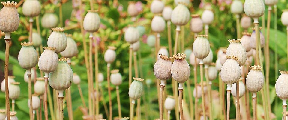 Opium poppy pods