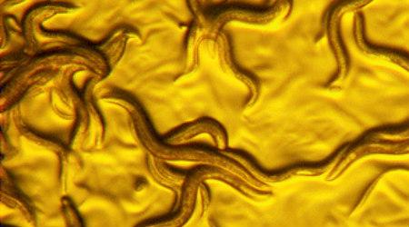 Golden Death Worm